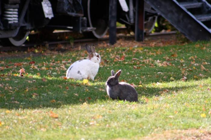 Bunnies near the train