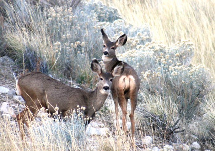 Deer - Middle Canyon Road, Utah